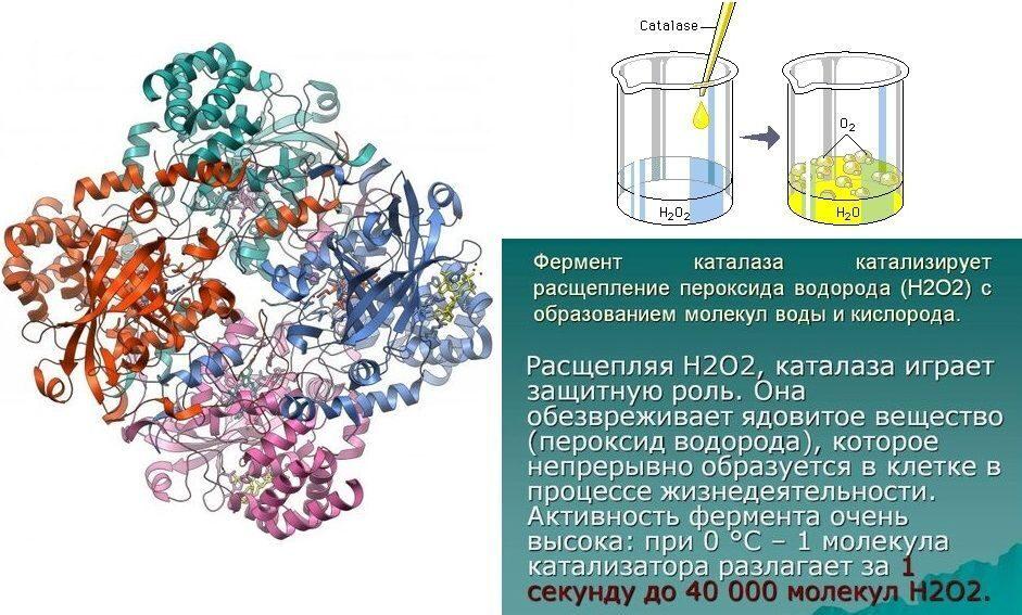ферменты для поджелудочной железы препараты народные средства