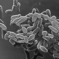 Bacteroides