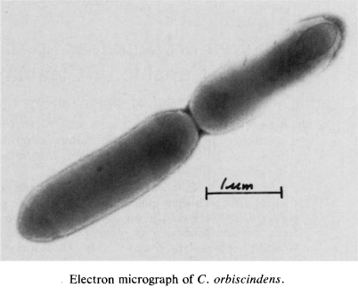 Бактерия Clostridium orbiscindens
