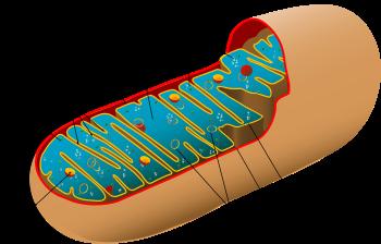 Картинки по запросу окисление клеток организма