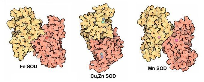 superoxide dismutase heavy metal
