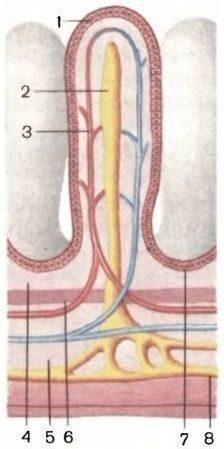 схема строения ворсинки тонкого кишечника