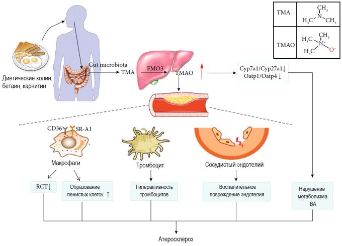 ТМАО и атеросклероз