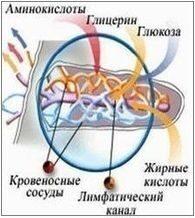 кишечное всасывание питательных веществ через ворсинку в тонком кишечнике