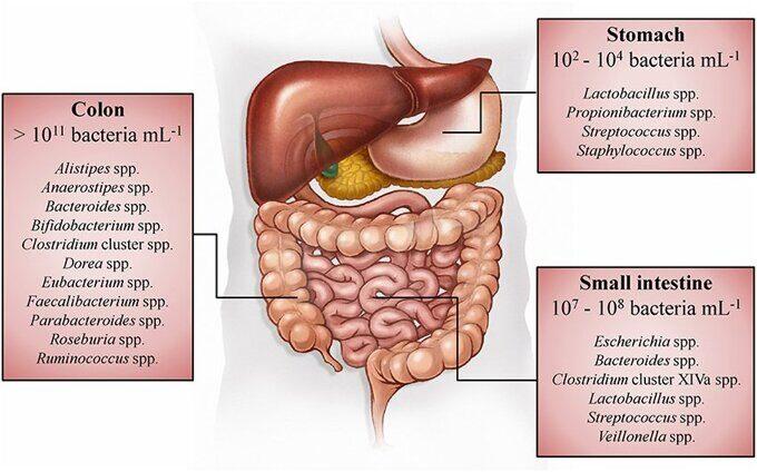 Пространственное распределение и концентрации бактерий вдоль желудочно-кишечного тракта человека