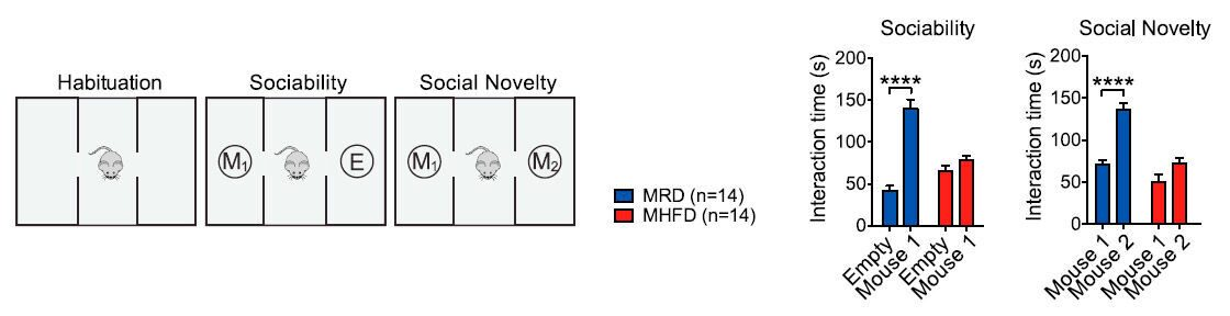 microbial_reconstitution_reverses_maternal_diet_induced_social_deficits_2_1120