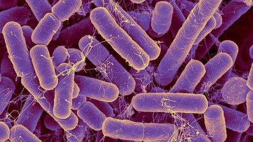 Bacteroides are the most common bacterial species found in the human intestinal tract.